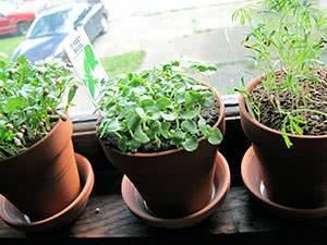 Все нюансы выращивания петрушки из семян на подоконнике в квартире или на балконе. разбор возможных проблем