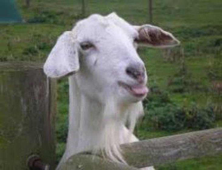 Как лечить коз тимпанолом и инструкция по применению, дозировка и аналоги