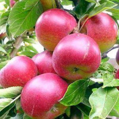 Яблоня «звездочка»: описание сорта, фото и отзывы