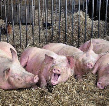 Цистицеркоз свиней: симптомы, диагностика и лечение