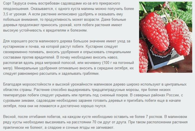 Черная малина: её сорта, характеристики и тонкости выращивания