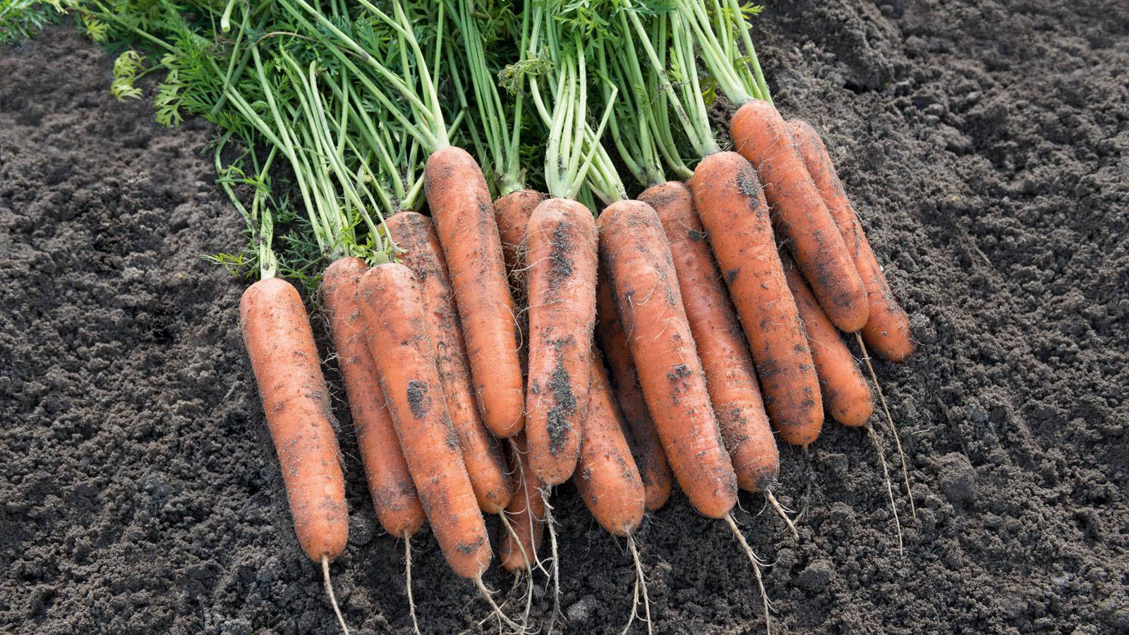 Подробная характеристика и особенности выращивания моркови сорта абако