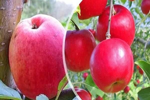 Сорт вишни уйфехертои фюртош