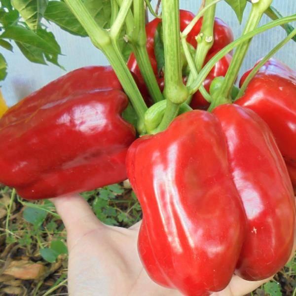 Описание и характеристика сорта перца «калифорнийское чудо»: фото + отзывы