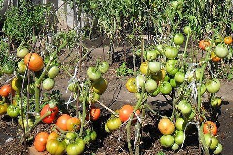 Томат «сто пудов» — урожайный гигант для теплиц и парников