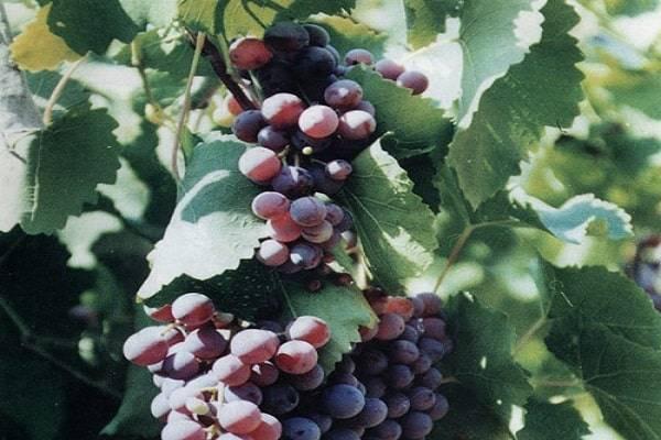 Виноград агат донской — особенности сорта