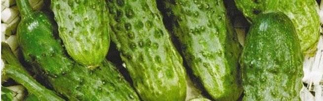 Как собрать семена с огурцов
