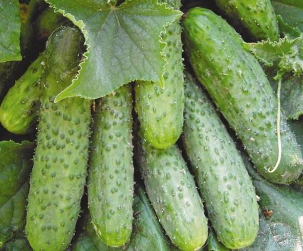 Гибрид огурцов «либелле f1»: фото, видео, описание, посадка, характеристика, урожайность, отзывы