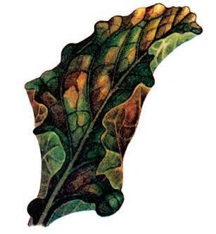 Из-за чего желтеют листья у свеклы? возможные причины и советы, что делать