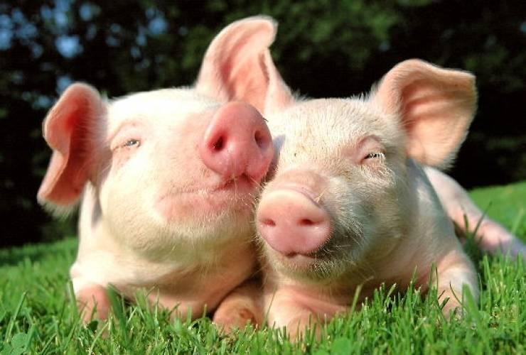 Мини-пиги: описание пород, сколько живут, условия содержания в домашних условиях