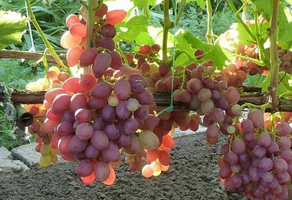 Виноград анюта: агротехнические особенности, описание сорта