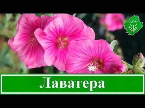 Как правильно посадить лаватеру однолетнюю и ухаживать за цветком?