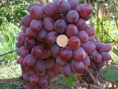 Отличная беседка и вкусный урожай — виноград «галбена ноу»