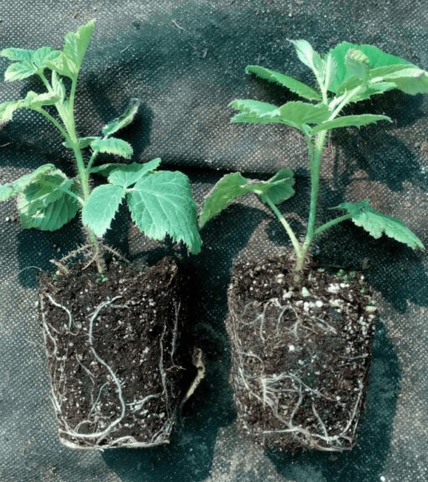 Размножение малины черенками весной, летом и осенью