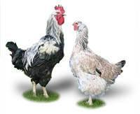 Юрловская голосистая порода кур: объясняем развернуто