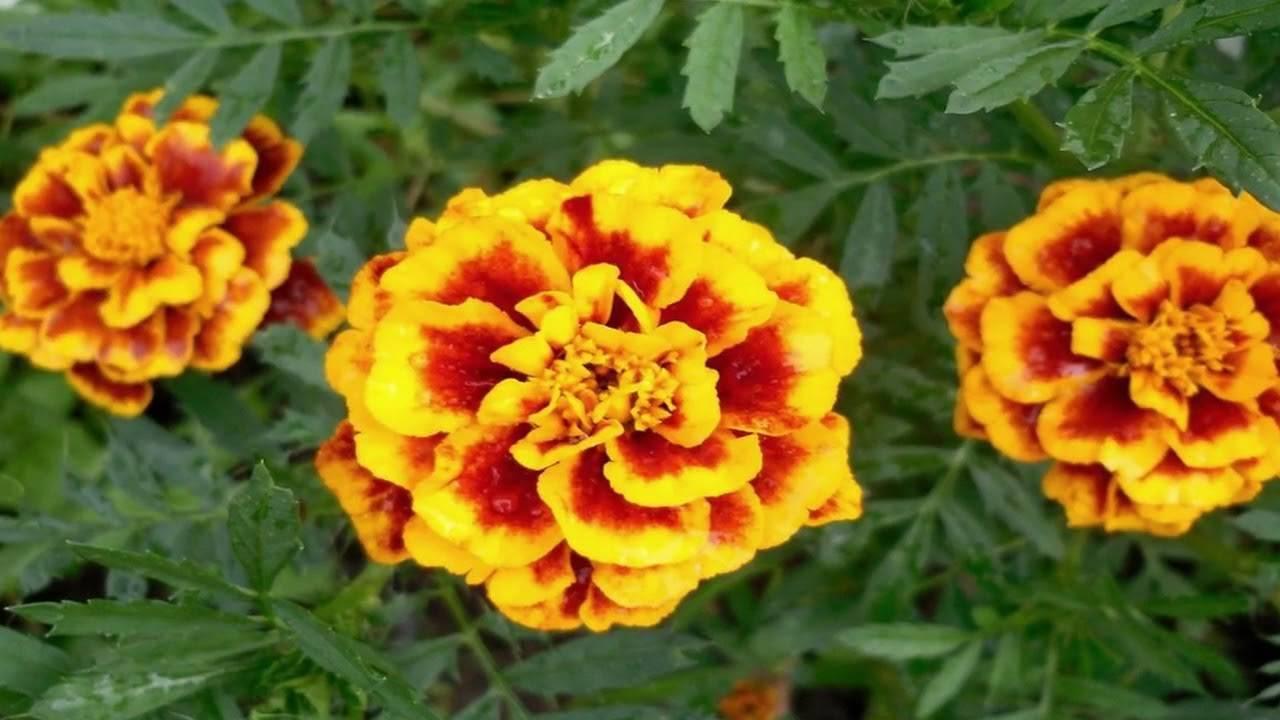 Полезные свойства бархатцев от вредителей, зачем сажать в огороде