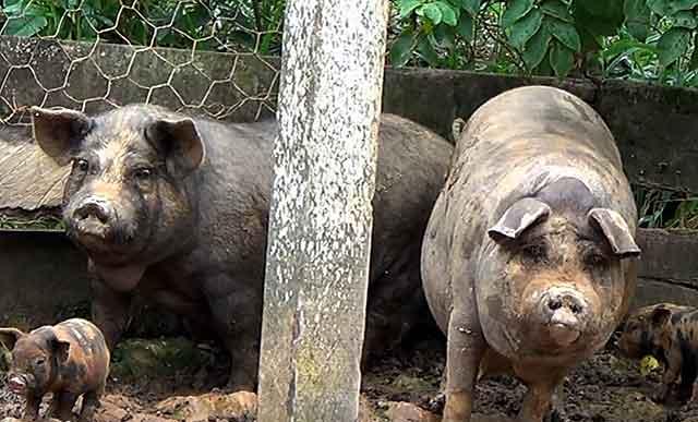 Сколько гуляет свинья и когда можно резать