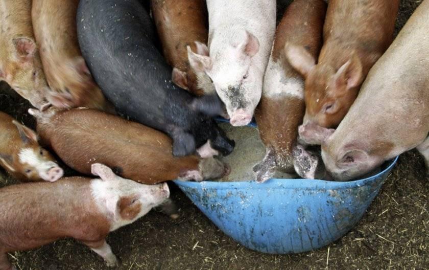 Преимущества и состав пурины для свиней, как правильно давать и срок хранения