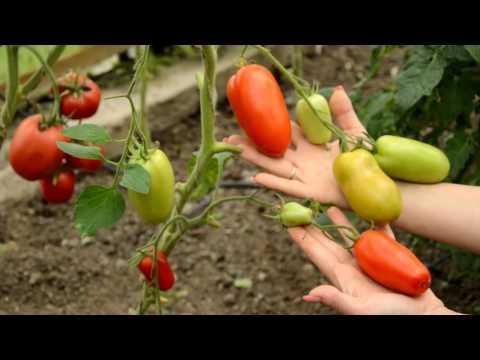 Томат хайпил 108 f1: характеристика и описание сорта, урожайность отзывы фото