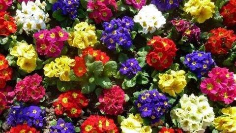 Весенний первоцвет примула домашняя: уход в домашних условиях, правила соблюдения оптимального температурного режима, полива и освещения