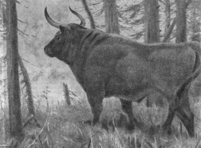 Тур – вымерший предок домашних коров