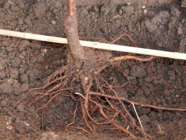 Как и когда пересадить виноград весной на другое место?