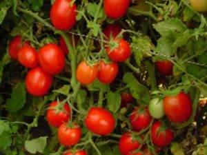Описание томата щелковский ранний особенности выращивания