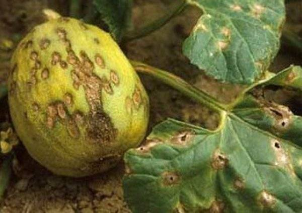 Как по листьям определить болезни тыквы: фото, описание заболеваний и способы реанимации