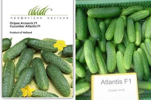«атлантис f1»: ранний высокоурожайный гибрид огурца для теплиц и открытого грунта