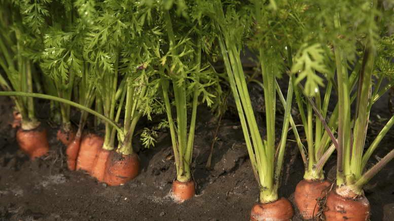 Когда нужно посадить морковь на семена и как собрать посевной материал самостоятельно?