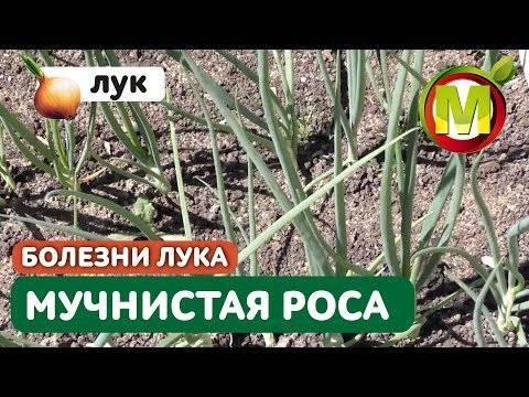 Пероноспороз растений, как лечить