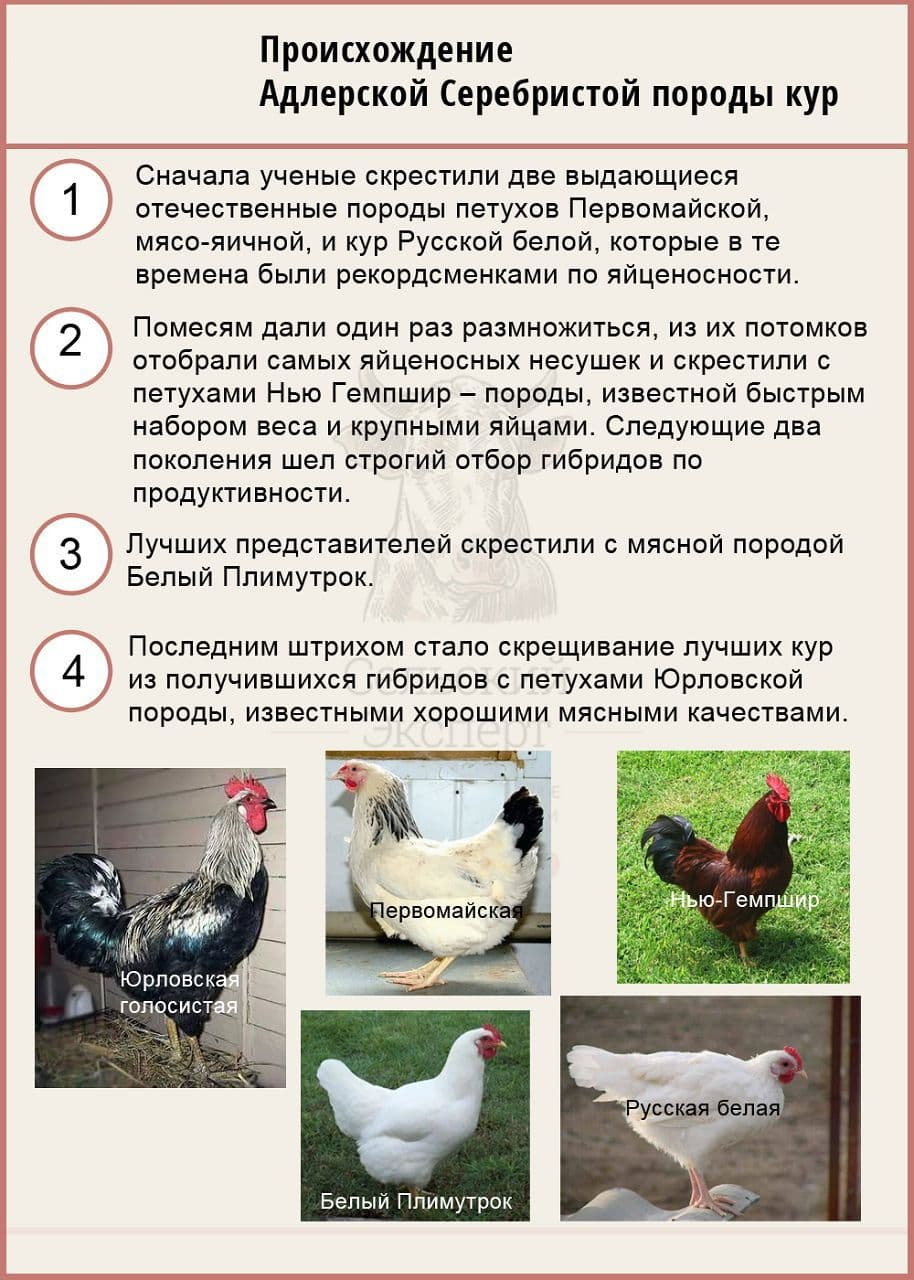 Описание юрловской голосистой породы кур и правила содержания