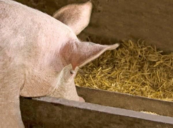 Какие бывают кормовые добавки для роста свиней, правила выбора и использования