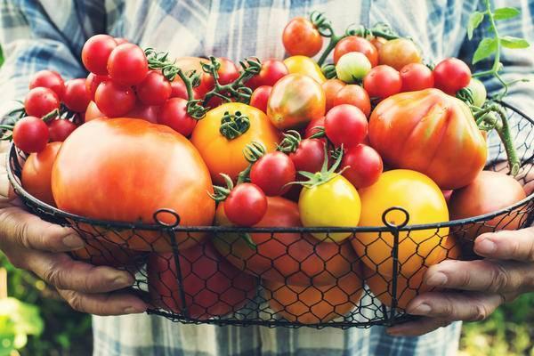 Лучшие сорта томатов: описания, достоинства, недостатки