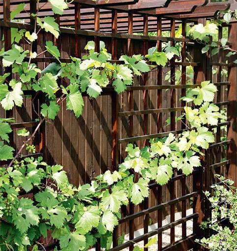Выращивание винограда на балконе: от выбора нужного сорта, посадки и ухода за ним