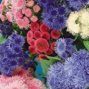 Цветы агератум: виды и сорта