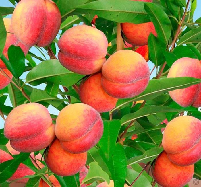 Описание сортов и полезные свойства инжирного персика, технология выращивания