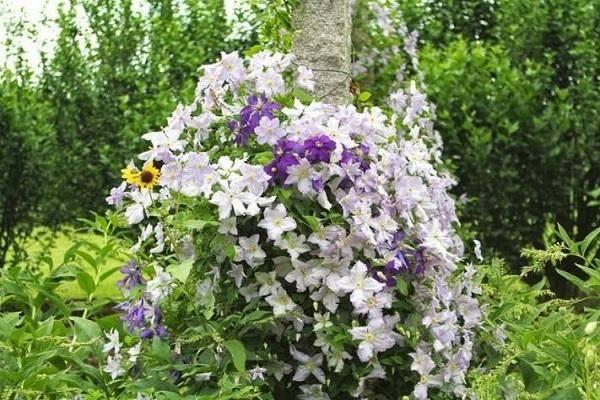 Когда цветет клематис и что нужно для обильного цветения?