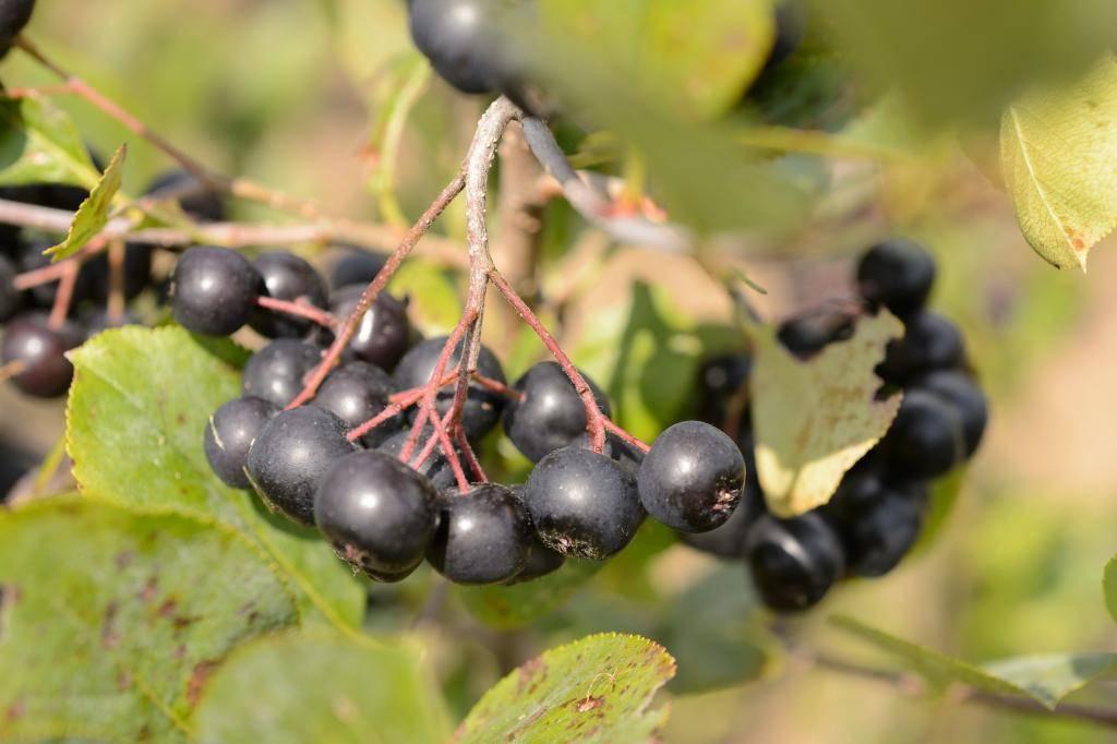 Варенье из черноплодной рябины — вкусные рецепты на зиму