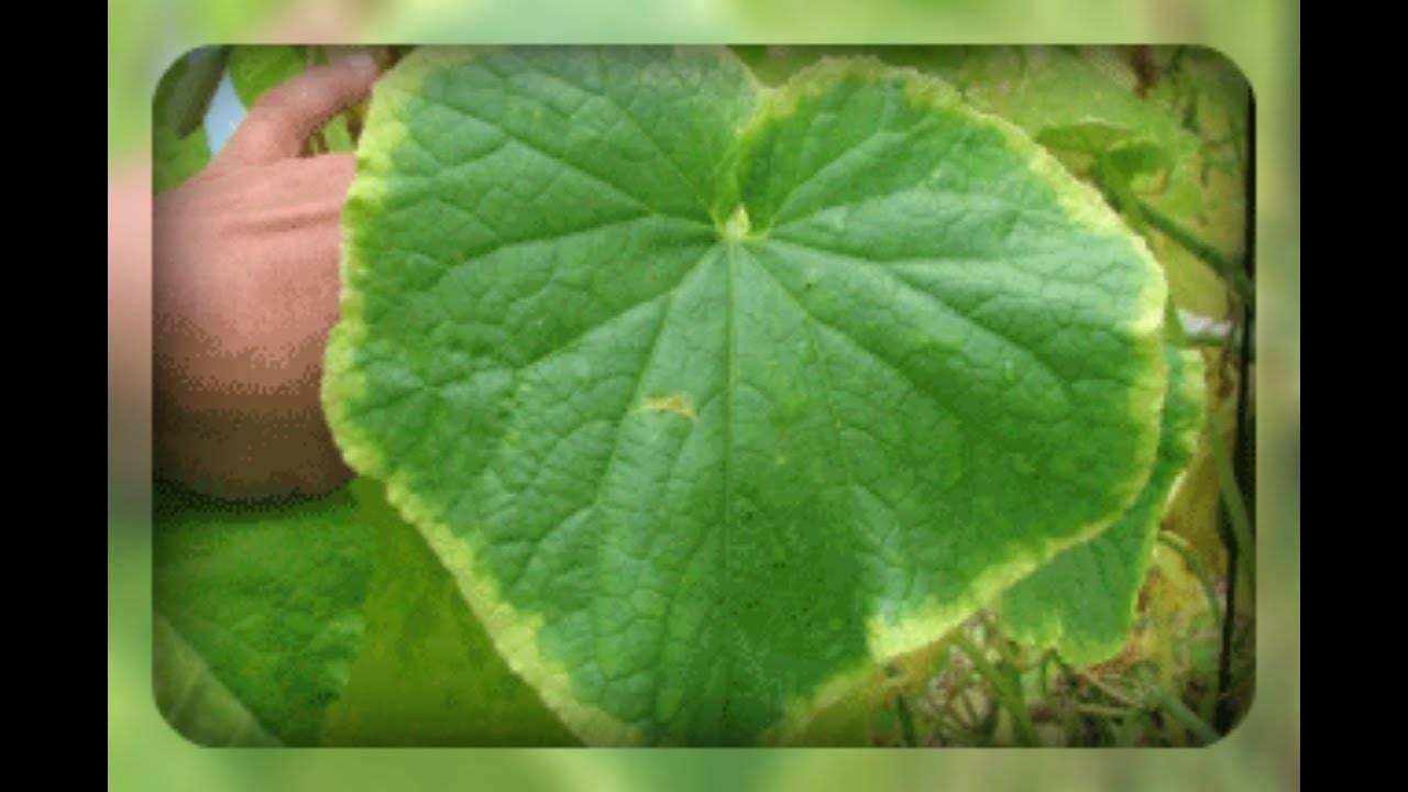Что делать, если желтеют листья у огурцов в теплице и как это предотвратить