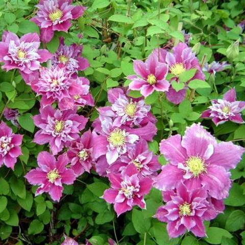 Клематисы «нелли мозер»: описание, советы по выращиванию и размножению