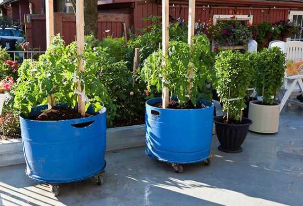 Томатное дерево — как вырастить на открытом грунте, в домашних условиях
