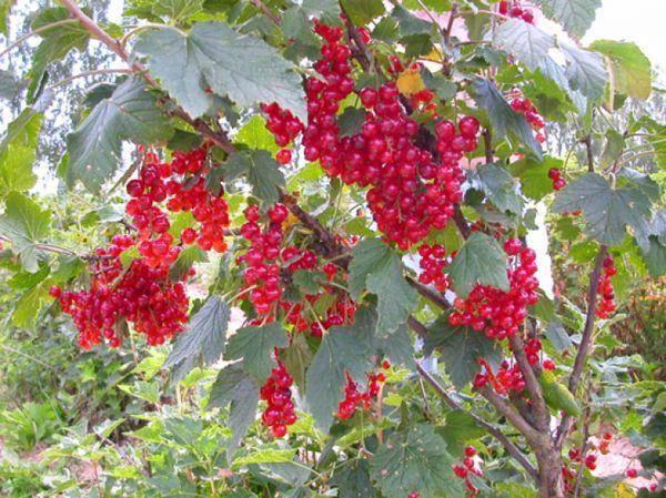 Среднеспелая и высокоурожайная красная смородина сорта андрейченко