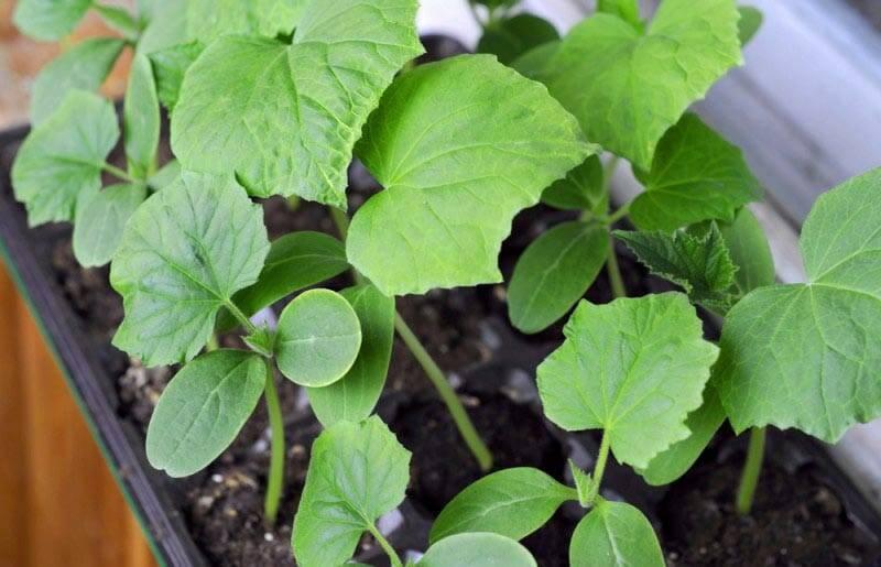 Выращивание огурцов на балконе: пошаговая инструкция с фото