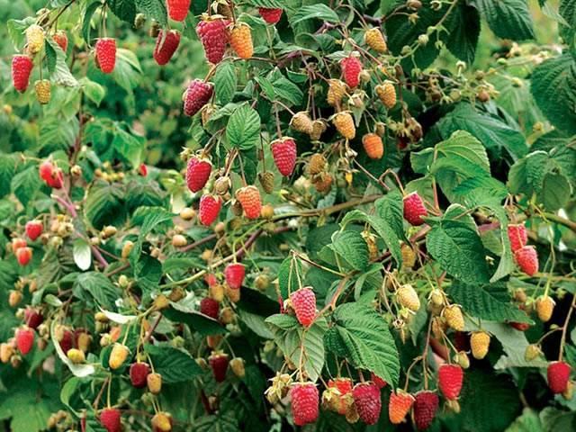 Малина: как выращивать любимую русскую ягоду