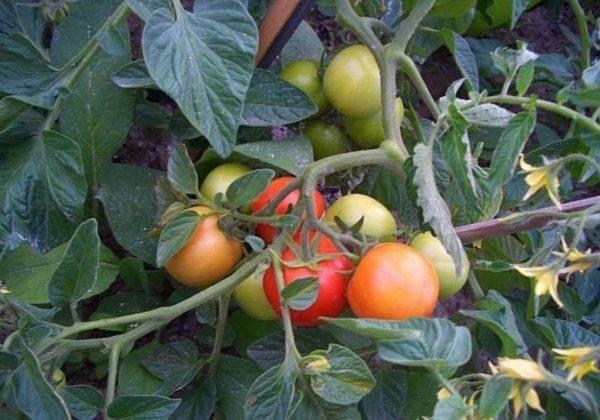 Описание сорта томата яна, особенности выращивания и урожайность
