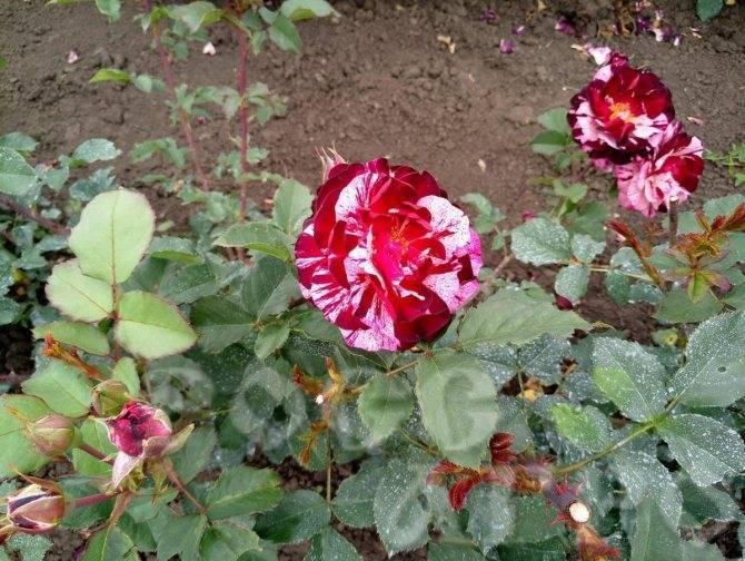 Особенности розы юбилей принца монако