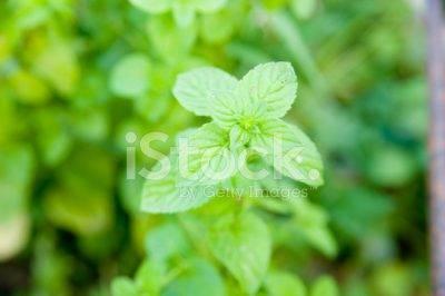 Душица или орегано посадка и уход в открытом грунте выращивание из семян на рассаду фото