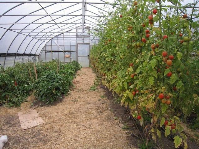 Правильная посадка вместе перца, томата и огурцов в теплице