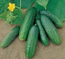 Описание сорта огурцов Либелла и выращивание